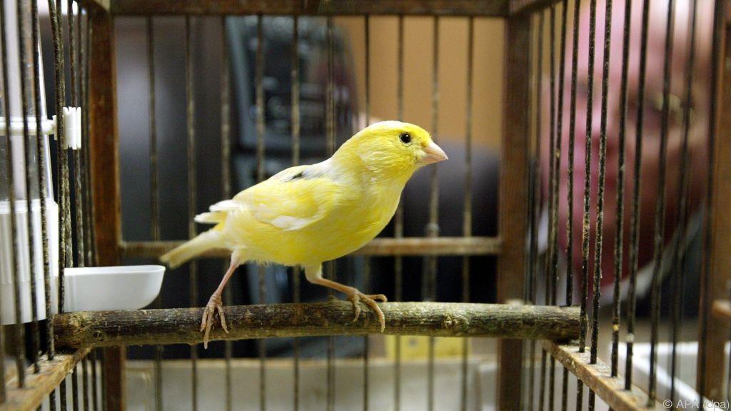 Ramsch-DNA machte Sexchromosomen der Singvögel keusch