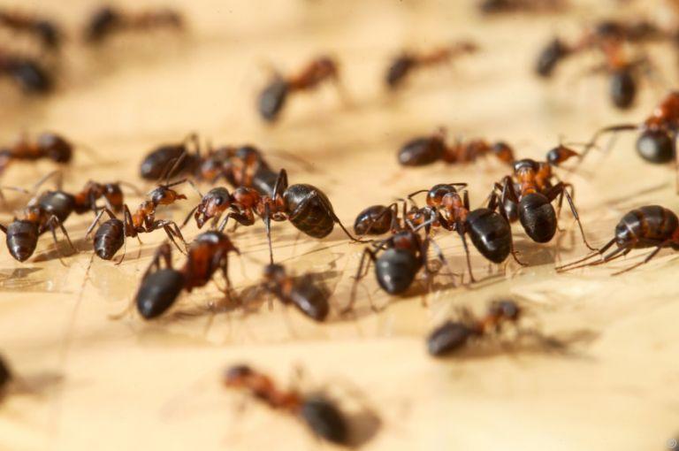Ameisen verhalten sich bei Infektion wie Immunsystem