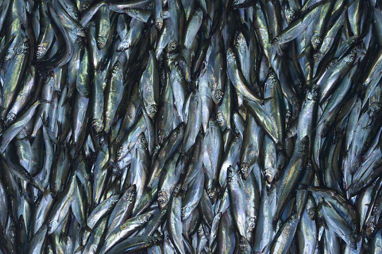 Studie: Millionen Menschen können sich 2050 keinen Fisch mehr leisten