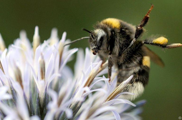 Forscher: Blumen und Hummeln kommunizieren elektrostatisch