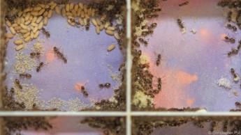 Ameisen reinigen neubezogenes Nest mit Gift-Cocktail