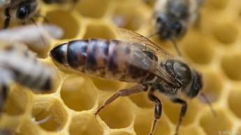 Bienenköniginnen entwickeln sich dadurch deutlich besser